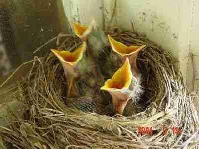 baby-birds-feeding
